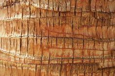 Coconut Tree, Bark