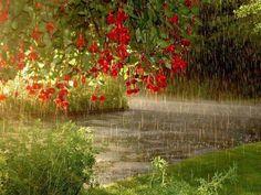 Fuschias in the rain.....