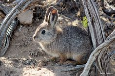 The USFWS wants you to get outside and enjoy nature. Find events in the Pacific NW and Pacific Islands and fun activities for families and educators. Wild Life, Small Rabbit, National Parks Usa, Forest Friends, Guinea Pigs, Mammals, North America, Creatures, Pets
