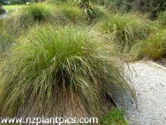NZ plant pics - Carex secta