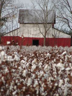 I love seeing the cotton growing in the South. I'd love to have a huge bouquet of it in my office.