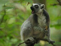 Duke Lemur Center is near Morehead Manor Bed and Breakfast of Durham, NC. http://blog.moreheadmanor.com/2015/05/duke-lemur-center-in-durham.html