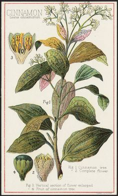 File name: 10_03_000032a Binder label: Food Title: Cinnamon, Laurus cinnamomum [front] Created/Published: Boston : Forbes Co. Date issued: 1870 - 1900 (approximate) Physical description: 1 print : chromolithograph ; 15 x 9 cm. Genre: Advertising cards Subject: Spices; Trees Notes: Title from item. Statement of responsibility: Davis, Sacker & Perkins Collection: 19th Century American Trade Cards Location: Boston Public Library, Print Department Rights: No known restrictions. Vintage Botanical Prints, Botanical Drawings, Vintage Prints, Antique Prints, Botanical Flowers, Botanical Art, Plant Illustration, Botanical Illustration, In China