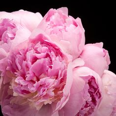 Certi Peonia Angel Cheeks, roze, pioen, roos, rozen, pioenrozen, boeket, bloemen, Certi Bloemen, Planten, webshop, online bestellen, rozen, kamerplanten, tuinplanten, bloeiende planten, snijbloemen, boeketten,  orchideeën kopenën