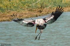 Painted Stork or Mycteria leucocephala landing in a lake
