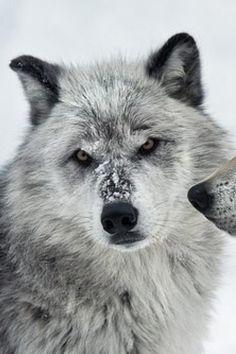 Lobos Wolves, Husky, Animales, Wolf, Husky Dog, Timber Wolf