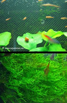 The following is a series of photographs by aquamoss.net  that clearly illustrate how to create an aquatic moss wall  as aquarium backdrop. ...