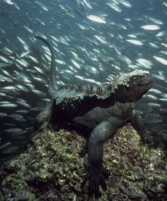 A marine iguana sits on the bottom of the ocean as thousands of fish swim by in an unforgettable shot captured near the Galapagos Islands, the only place in the world where marine iguanas live. The unique creatures, described as 'imps of darkness' by Darwin, can feed peacefully underwater for up to half an hour, and dive to depths of up to 45 feet.