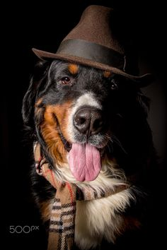 dog in scarf and hat - bernese mountain dog in scarf and hat posing in dark at…