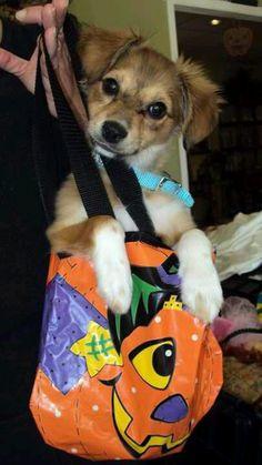 Flapjacks #sheltie #jack russell #cute #puppy #Halloween