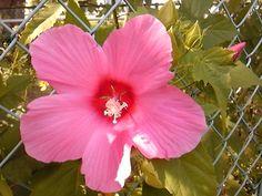 pink cotton rose ♪