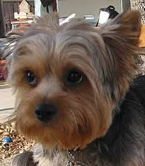 Yorkie cuts for short haired silky Puppy cut Silky