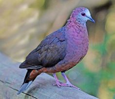African lemon dove