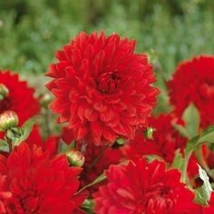 "Dahlia ""Decorative Garden Wonder"" Bulbs | Departments | DIY at B&Q"