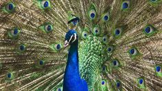 images of peacocks peacock wallpapers for mobile white peacock