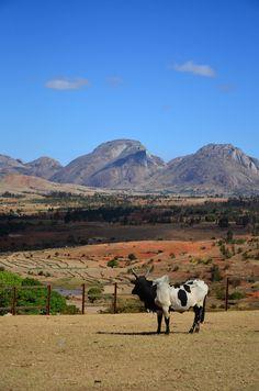 Zebu from Madagascar