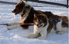Image result for Greenland Dogs