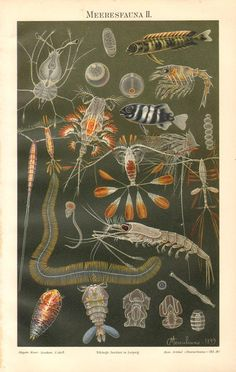 1899 Sea Life, Marine Spices, Tadpole Shrimps or Triops, Copepods, Decapods, Bony Fishes, Radiolarians, Arrow Worms Antique Chromolithograph
