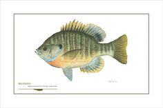 Hey, I found this really awesome Etsy listing at https://www.etsy.com/listing/224734360/bluegill-open-edition-print-by-flick