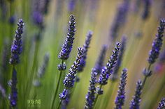 The Many Benefits of Lavender. . .Plus it Smells Really Good!