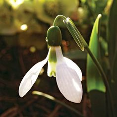 Snowdrop  Like graceful white butterflies, snowdrops have incredibly elegant little flowers that are so white they're almost translucent when backlit. These small bulbs earned eighth place in our survey and can be used just about anywhere in the landscape -- including naturalized in the lawn.                                          Name: Galanthus nivalis                                          Growing Conditions: Full sun or part shade and well-drained soil…