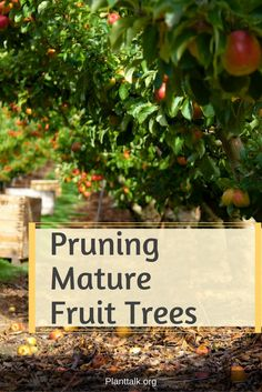 Most fruit trees benefit from yearly pruning in late winter or early spring. Pruning when the trees are dormant helps to prevent the spread of disease. Prune Fruit, Pruning Fruit Trees, Colorado State University, Early Spring, Gardening Tips, Plants, Beginning Of Spring, Plant, Planting