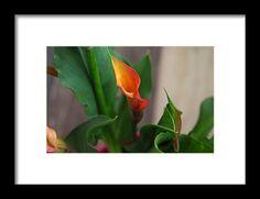 calla lily, orange, flower, macro, nature, michiale schneider photography