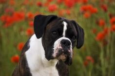 Milly.  Photo by: Stewart Copeland.  (boxer)