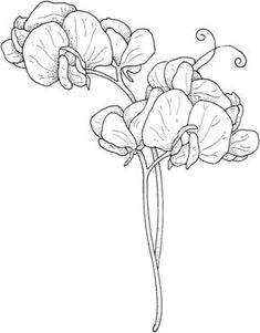 how to draw a sweet pea flower | Sweet Pea coloring page | Drawing ...