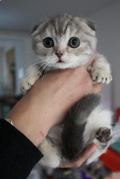 This is the breed of kitty i want someday, SCOTTISH FOLD. Floppy ears and sits Indian Style alot. <3 adorable