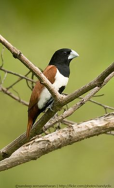 Black headed munia | Flickr - Photo Sharing!