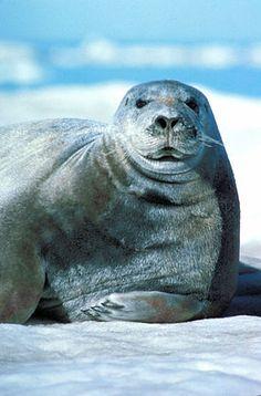 Tuleň vousatý
