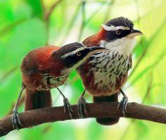 Taiwan or Lesser Scimitar Babbler - Taiwan