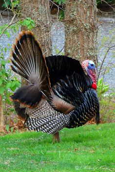 Wild Turkey displaying * Rook - not wild; that's farmed for eating, see breastbone Turkey Pics, Wild Turkey, Tom Turkey, Beautiful Birds, Animals Beautiful, Beautiful Swan, Farm Animals, Animals And Pets, Small Animals