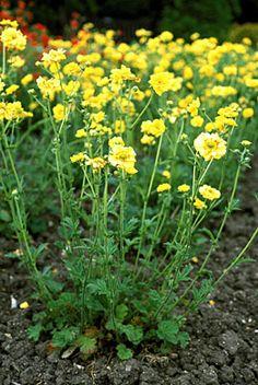 36 best geum images on pinterest flowers plants and flower gardening geum chiloense lady stratheden mightylinksfo