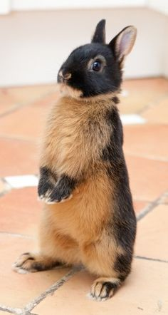 The Netherland Dwarf was derived from a Polish Rabbit and a Wild Rabbit in the early 1900s in Holland