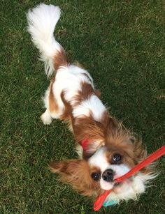 Cavalier King Charles Spaniel – Graceful and Affectionate King Charles Puppy, Cavalier King Charles Dog, King Charles Spaniel, Cavalier King Spaniel, Spaniel Dog, Most Cutest Dog, Puppies And Kitties, Dog Sweaters, Doge