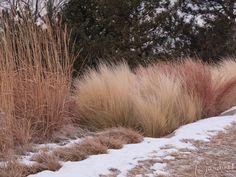 Mexican feather grass (Stipa tenuissima syn. Nasella tenuissima)