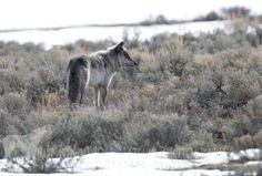Wolves of Yellowstone Yellowstone Wolves, Livestock, Wolf, America, Future, Future Tense, Wolves, Usa, Timber Wolf