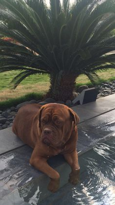 More About The Dignified Big Mastiff Dogs And Kids French Mastiff Puppies, Mastiff Puppies For Sale, Dogs And Puppies, Doggies, French Bull Mastiff, Bulldog Puppies, Giant Dog Breeds, Giant Dogs, Best Dog Breeds
