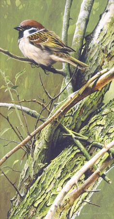 Tree Sparrow by Terance James Bond
