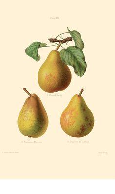 The Herefordshire Pomona | Folio Illustrated Book