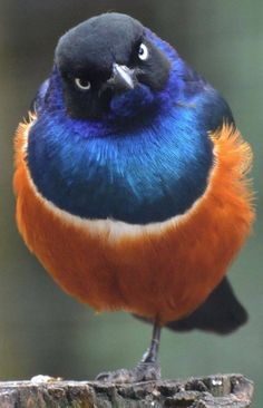 "Superb Starling (Lamprotornis superbus) ""You talkin' to ME?"" ;)"