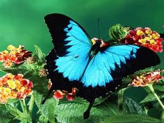 butterfly - Yahoo Hasil Image Search