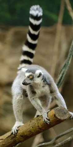 Lemur - Ring Tail Up by Eric Kilby on Flickr