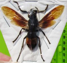 A lot of two Greater Banded Hornet Vespa tropica Spread FAST SHIP FROM USA