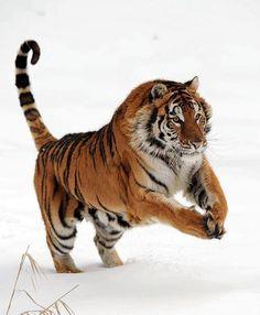 prancing tiger