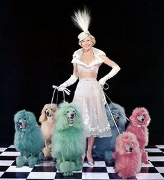 Doris Day with dyed standard poodles