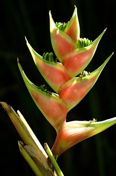 Heliconia, derived from the Greek word helikonios, is a genus of about 100 to 200 species of flowering plants found in rainforests or tropical wet forests of these regions. Common names for the genus include lobster-claws, wild plantains or false bird-of-paradise.