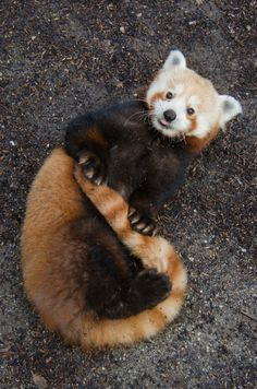 San Francisco Zoo's red pandas look forward to celebrating Ginger Pride in 2016